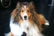 Our Dealership Mascot, Cooper. / Cooper is our mascot here at Mini of Baltimore! He is a Sheltie, which is essentially a Mini Collie (haha, get it? Mini Cooper) and the sweetest dog you'll ever meet. He has been featured in our Mini of Baltimore commercial and will be pleased to greet you when you come in the door!