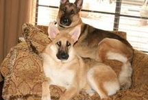 My German Shepherds / It's all about my girls, Callie and Cassie