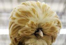 chickens...hens...galline!