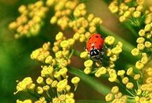 Insects & Your Garden / The good, the bad, and the beautiful- learn to identify garden pests and predators, both friend and foe, and figure out what they can do for you and your garden with these photos and tips.