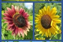 Sunflowers / Everyone loves a beautiful sunflower (including the birds!) Gain inspiration and tips from around the web.
