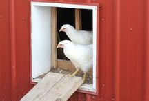 Chicken Care / Want a different pet choice than just a dog or a cat? Try raising chickens! These easy-to-care-for birds can provide food in the form of meat and eggs over time, and make for great, entertaining companions - learn all the different topics of chicken care here.