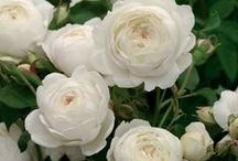 Roses / Growing beautiful roses in your garden doesn't have to be difficult. Check out planting, pruning and care tips, and new varieties that will inspire you!