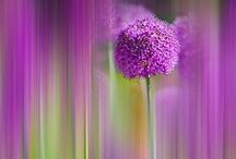 Allium - Purple Sensation / A collection of one of our most popular bulbs, the allium Purple Sensation
