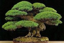 BONSAI / A TREE OR SHRUB THAT HAS BEEN KEPT VERY SMALL BY GROWING IN A SMALL  POT OR VASE.