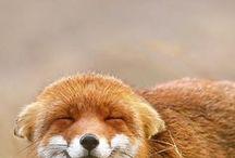 #animal/foxes