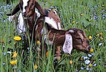 Goats / For my girls, Lottie, Lassie and Jolie and little Gemma.