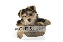 The Cutest Morkie / Giada could be the cutest morkie ever. Photos are by Tampa wedding photographer Jon Montis