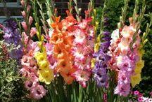 Vackra blomsterlökar / Beautiful flowerbulbs / Ger dig massor av vackra blommor i både rabatten, på terrassen och balkongen! Plantera och njut!