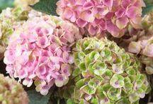 Hortensia / Hydrangea / Hortensior är så vackra! Stora, runda eller flata blommor i klara färger som sträcker sig från rött och rosa till blått och vitt och grönt.