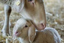 Ewe See It  / Sheep!!