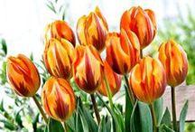 Tulpaner / Tulips  / Tulpaner, dessa vackra skapelser som finns i alla olika former och färger! Man måste bara älska dessa blommor!