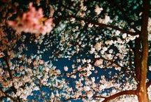 """Cherry Blossoms / """"I am a stranger and I am despised,  but I still live in this world.  Why only the cherry blossoms are so sadly withering before the eyes of the multitude who admires them?""""  Saigyo (1118-1190)"""
