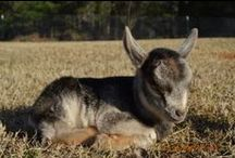 Homesteading and Goats