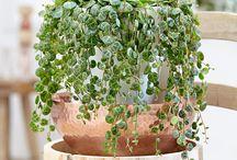 Gröna krukväxter / Green houseplants