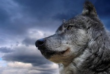 "Leaders of the wolfpack / This is also one of my favorite creatures.There's a ""wildness"" in wolves that's just not containable. Their beauty is almost ""spiritual"". Amazing wonderful creatures! / by noreen scully"