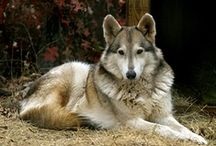 "The ""Wolf"" hybrid / I have always wanted a ""hybrid"". Have talked to people that have owned them and they say their incredibly smart and loving! They certainly can start a conversation when U take them for a walk! (People that is, not the dog...) / by noreen scully"