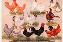 Farm: Chickens & Birds / by Amber Voigt