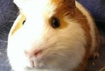 Guinea Pigs For Rehoming / Guinea pigs in need of a home. Here you will find guinea pigs that can be adopted. Check the description below the image for details, including the location.