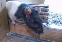 Rats For Rehoming / Rats in need of a home. Here you will find rats that can be adopted. Check the description below the image for details, including the location.