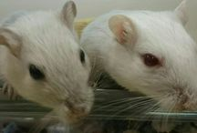 Gerbils For Rehoming / Gerbils in need of a home. Here you will find gerbils that can be adopted. Check the description below the image for details, including the location.
