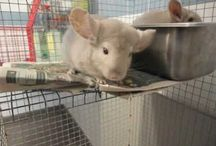 Chinchillas For Rehoming / Chinchillas in need of a home. Here you will find chinchillas that can be adopted. Check the description below the image for details, including the location.