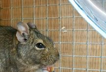Degus For Rehoming / Homeless and abandoned pet Degus that are looking for a forever home