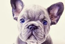 # Frenchies (L).