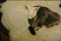My Cats / My two cats Devon Rex Voldemort aka Volde aka Mortti aka Moro and domestic cat Tero.