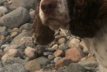 The Dog / The life of an English Springer Spaniel
