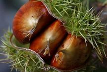 Chestnuts / Healthy Treat Low in Fat and Cholesterol Free Full of Vitamins and Minerals Extremely Healthy they are a Major Source of Vitamin A and C