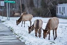 Cherokee Wildlife / The beauty of the mountains here in Cherokee, NC is made complete by the abundance of animals we are blessed to share this land with.
