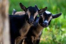 Kózki miniaturki (Miniature goats)