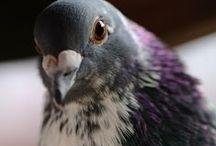 Gołębie (Pigeons)