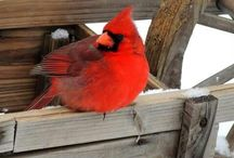 Ma's cardinals / by Grace