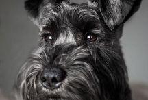 Schnauzer / Sznaucer / O sznaucerach, cudownych psiakach.  Miałem taka suczkę Maxi, ponad 16 lat... About Schnauzer, wonderful-dogs.  I had Schnauzer Maxi more than 16 years...