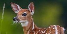 Deer / Deer, elk, caribou etc. reference
