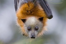 Bats / Bats! You either love them or hate them. Based on my repin count I'd say most of you hate them. I think they are ugly/cute like a bulldog. They also eliminate tons of unwanted pests. And, they are incredibly unique.