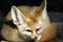 Fennec Fox / A board dedicated to our fennec foxes.