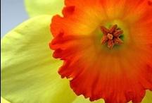 Daffodils, jonquilles, narcissen.