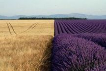 ^-^--~ lavender love