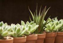 Sukulenty ★ / Piny poświęcone niezwykłym roślinom, jakimi są kaktusy i pozostałe sukulenty bez kolców.