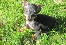 My Min Pins (doggy stuff) / by Leslie Gloe