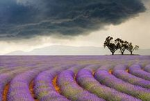 Lavender / All things about lavender / by Giuseppina Mabilia