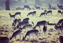 JesslovesRichmondPark / Pictures taken in London's beautiful Richmond Park. The deer are pretty.