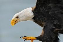 Eagle Wisdom