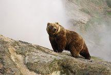 Bears Медведи