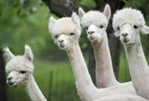 Lamas for the world :D