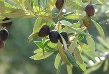 Olive Cottage / Living / Love the soft bluegreen leaves