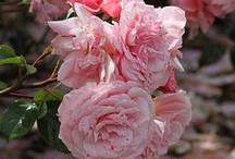 Roses - Rosas - Roses